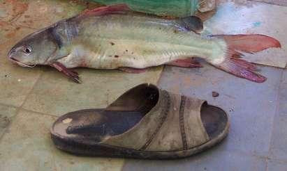 sees bi (photo) Bagrid catfish
